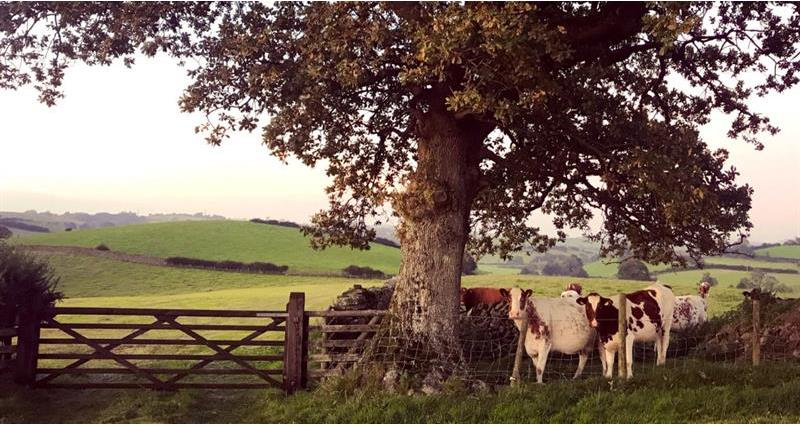 Dairy Shorthorns James Robinson_69668
