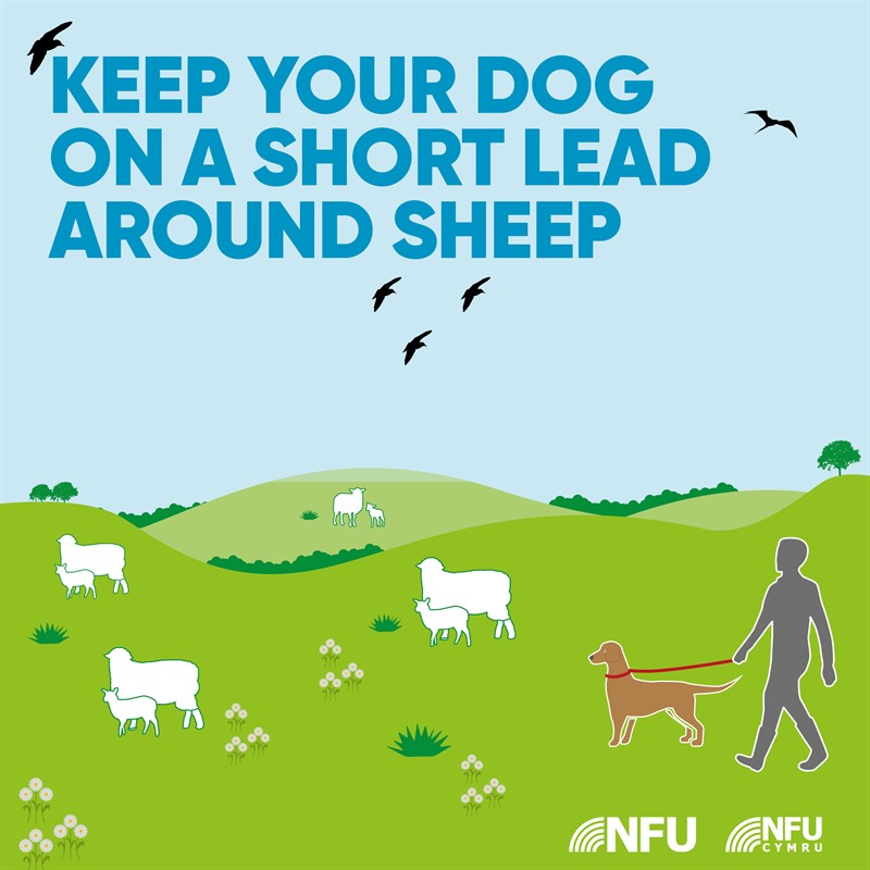 Countryside Code short lead around sheep NFU Facebook Instagram infographic