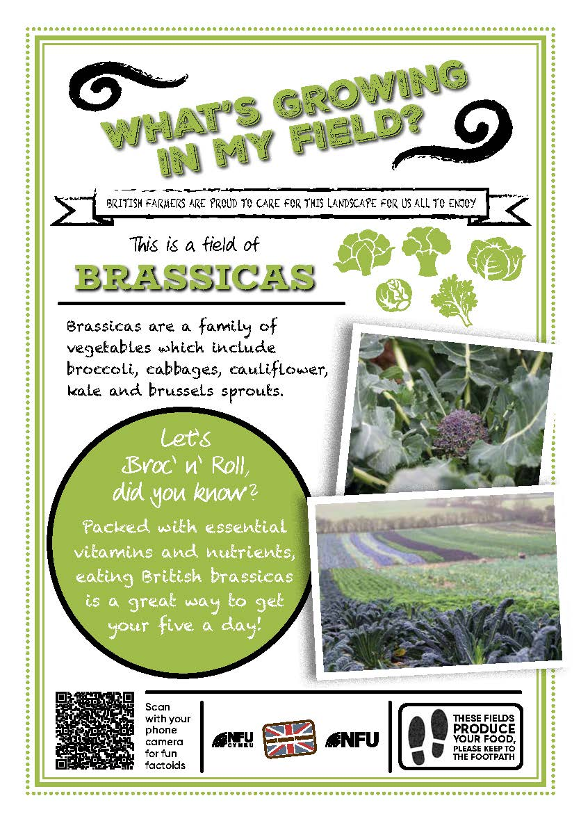 What's growing in my field – brassicas