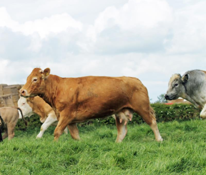Stock at Fields at HG Heath & Sons, Newbridges Farm, Blackwell_34826