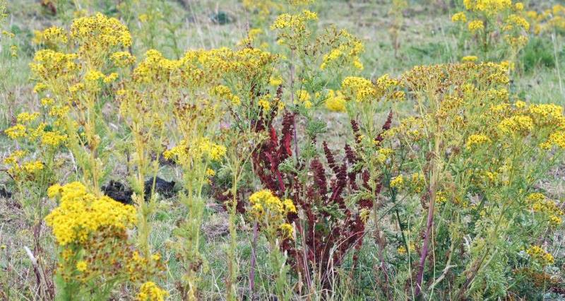 Ragwort in fields _45367