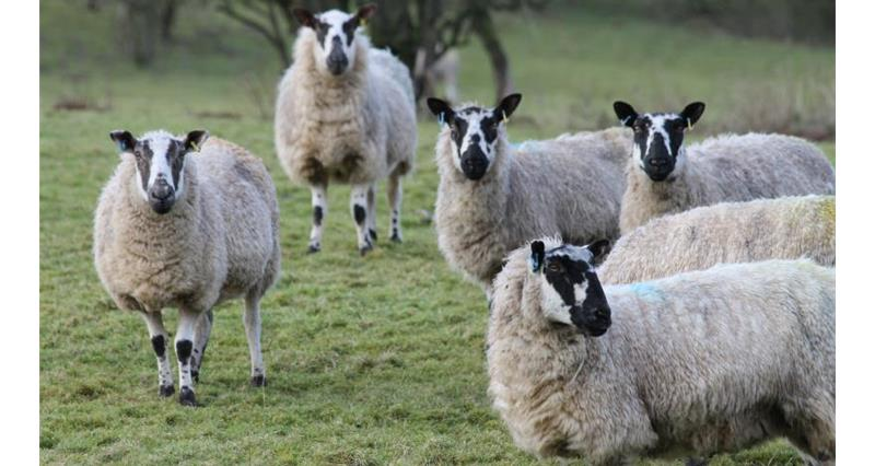 The sheep wool sector under pressure