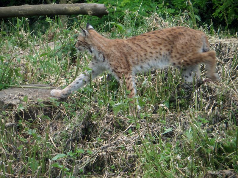 Lynx_29136