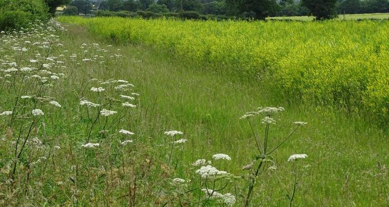 Field margins in Norfolk_44951