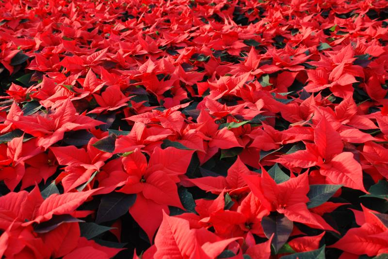 growing poinsettia crop_10144