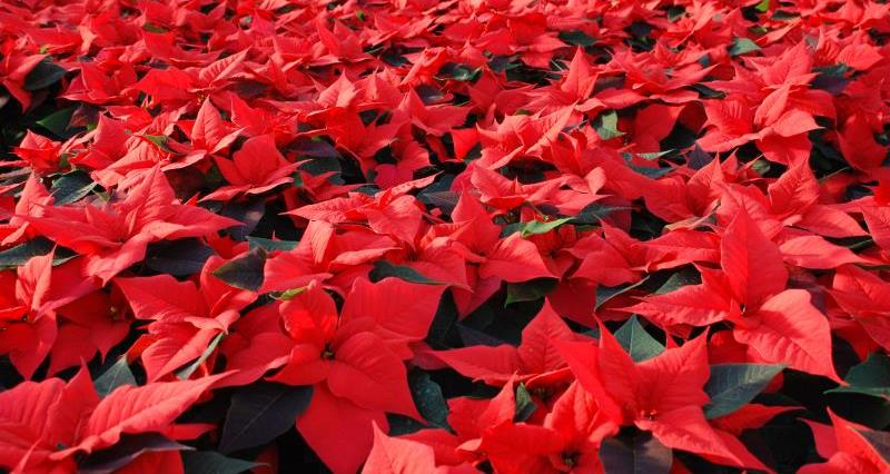 Picking a poinsettia? Buy British!