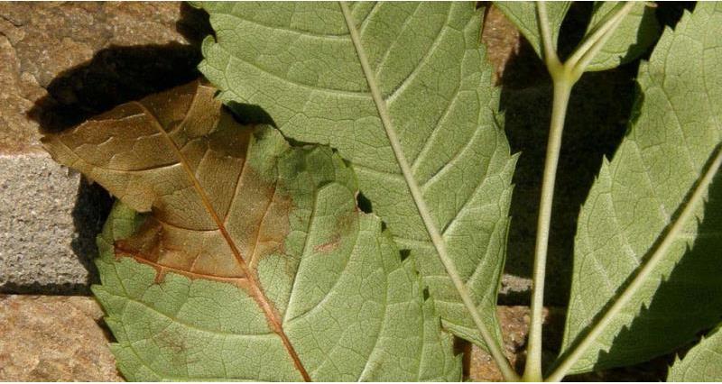 chalara fraxinea pathogen, web crop, ash dieback_39171