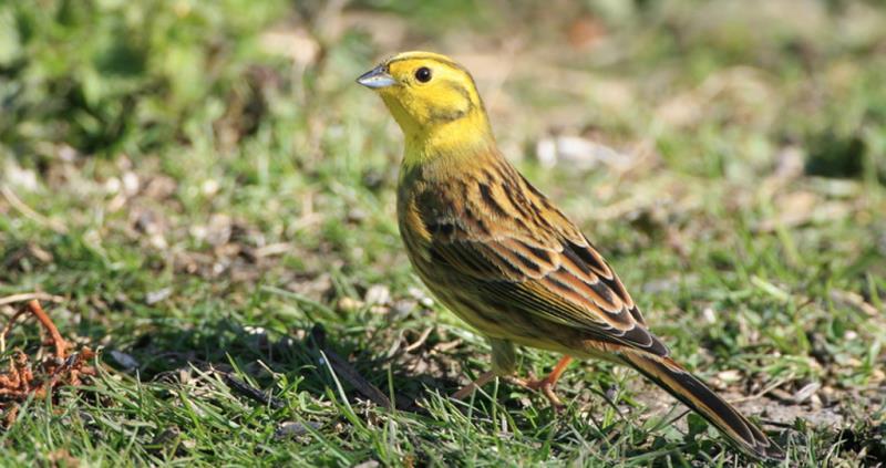yellowhammer, big farmland birdcount_49999