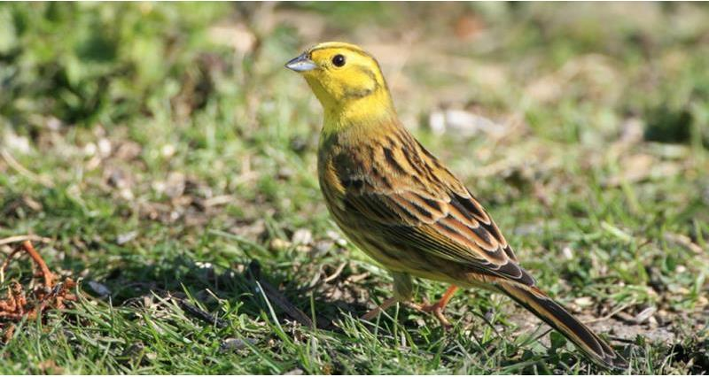 yellowhammer, big farmland birdcount_49999