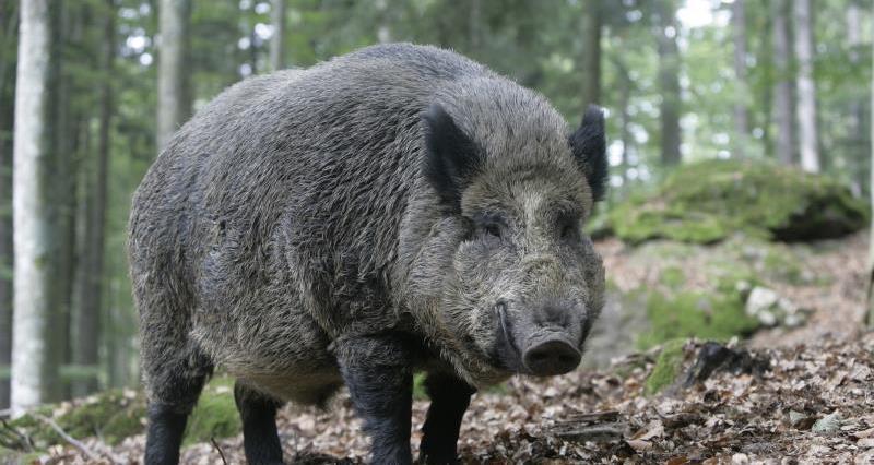 wild boar, istock, wildlife, uk_44772