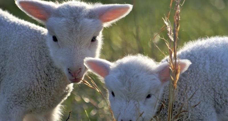Lambs in April_6737