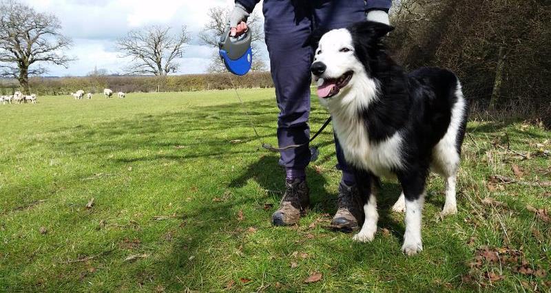 Dog walking, sheep, lead, Love Your Countryside, sheep worrying, Benji_33559