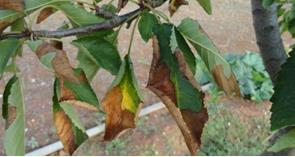 What can I do about Xylella?