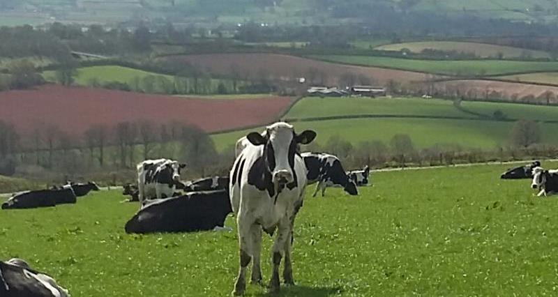 Andrew Branton dairy cows_36358