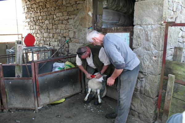 An officer tagging sheep under the guidance of John Taylor_24352