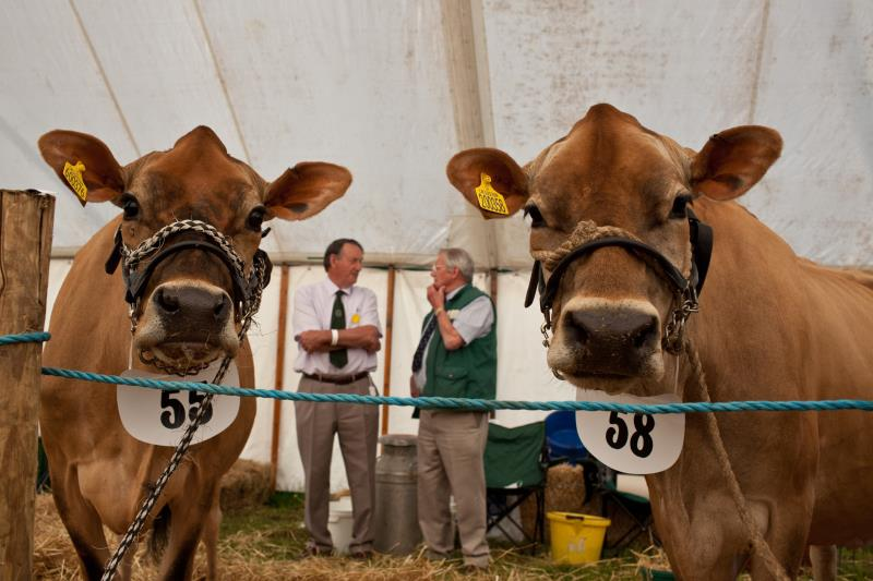 Cattle at Cumberland Show_43399