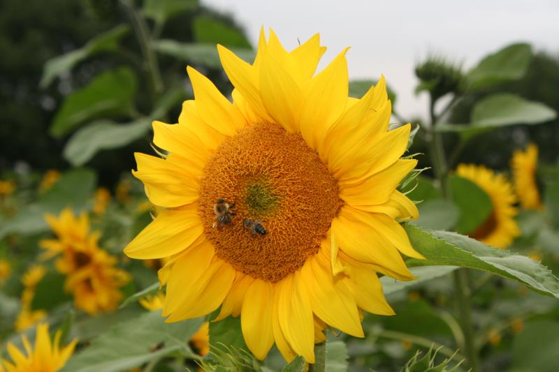 Bees and sunflower_37296