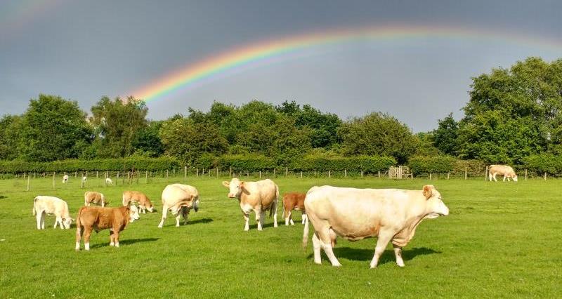 Bill Mellor's pedigree Simmental cattle_37330