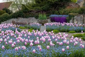 Tulips_41159