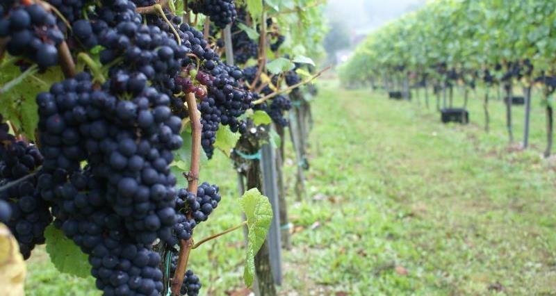 vineyard_57656