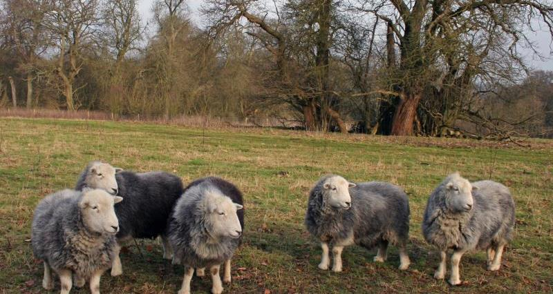 Herdwick flock, historic parkland, Chilterns_57337