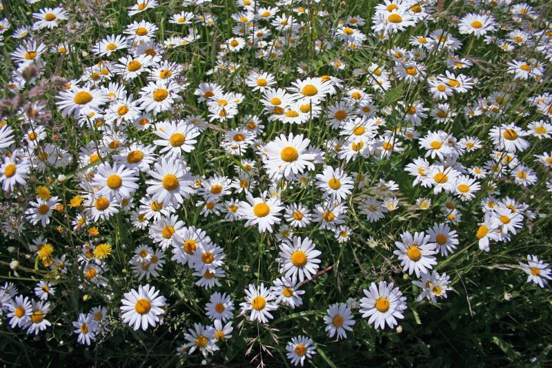 Oxeye daisies_12065
