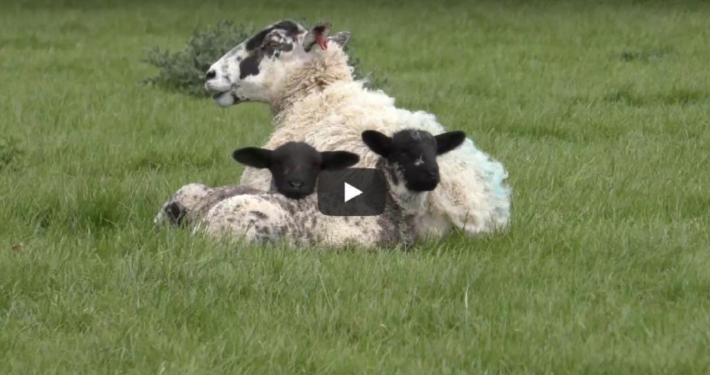 sheep video take the lead_53576