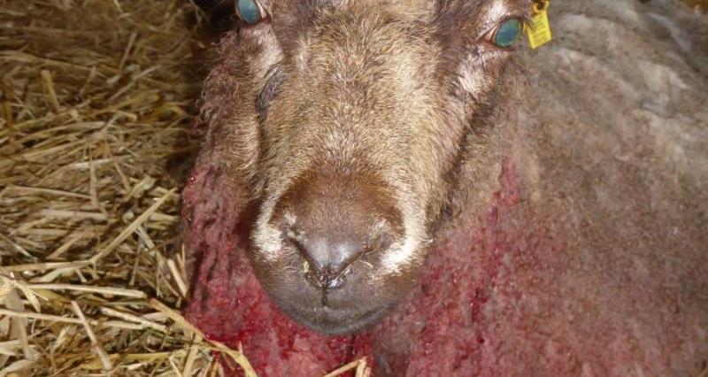 Injured ewe, Cissbury_50356