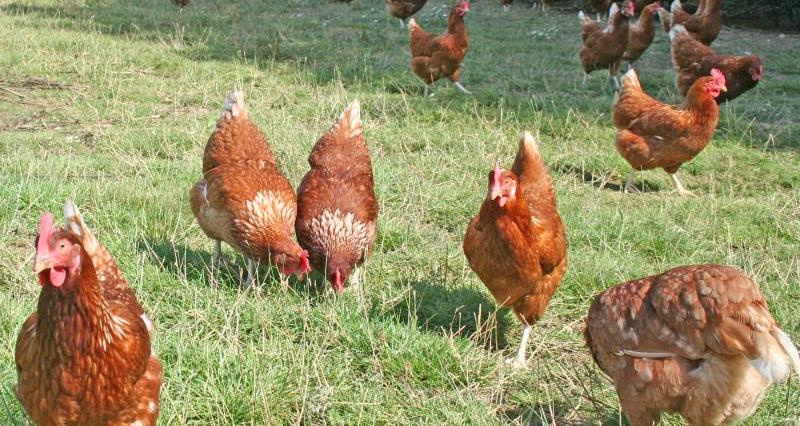 Free range hens_19596