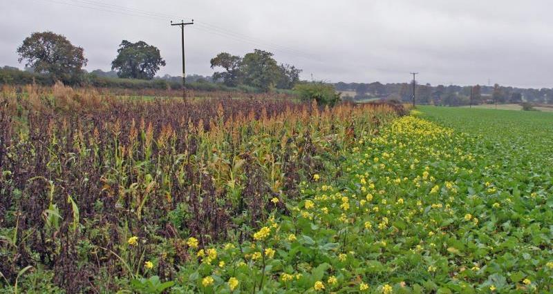 wild bird cover crop Rotherfield Park Estate, Hants_57111