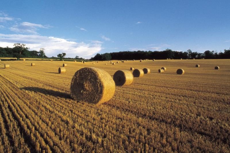 Field of straw bales_14586