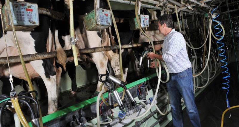 Cows in milking parlour_12284