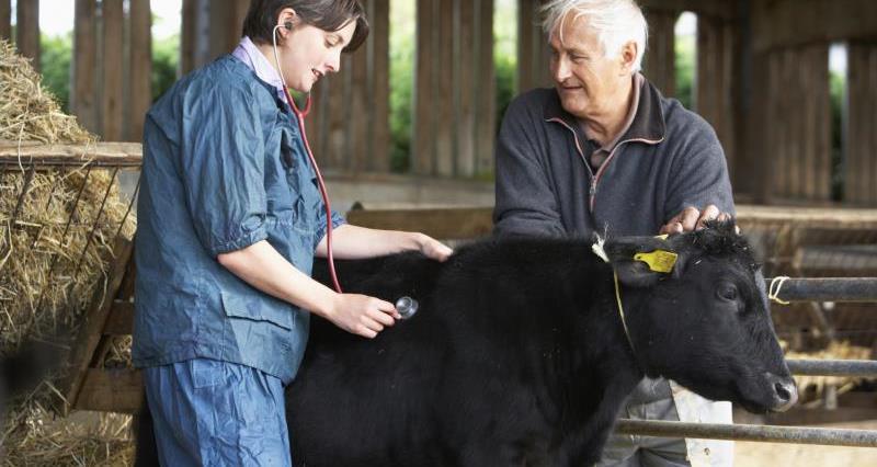 Female vet examing calf_12308