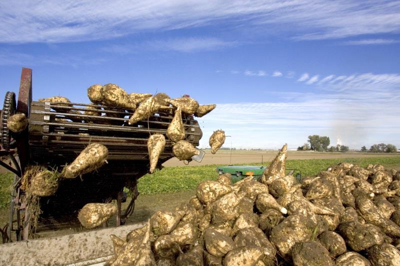 Sugar beet harvesting_12341