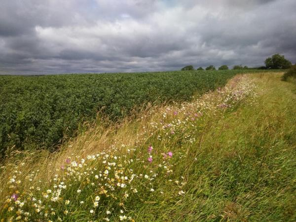 Field Margin and beans_36501