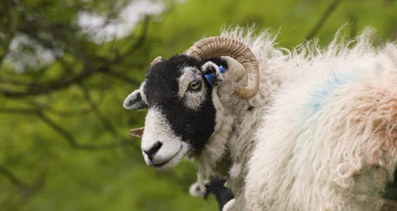 Swaledale sheep_3674