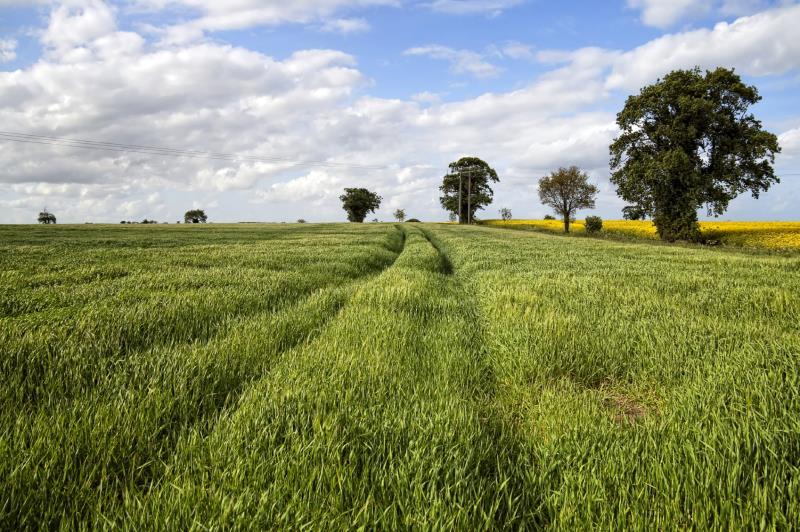 Corn field with tracks_7638
