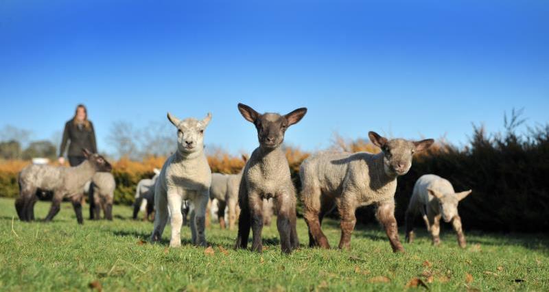 British lambing season