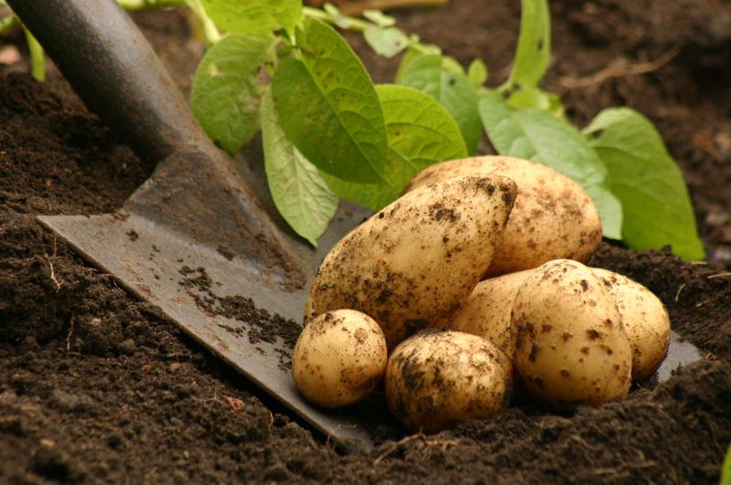 Potatoes_19830