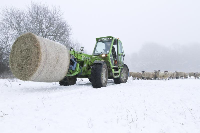 Feeding sheep in winter_14357