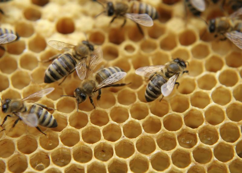 Honey bees on comb_3742