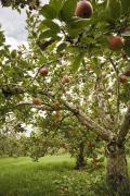 Apple orchard_3834