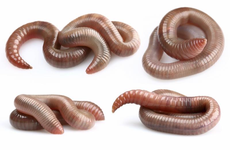 Earthworms_16981