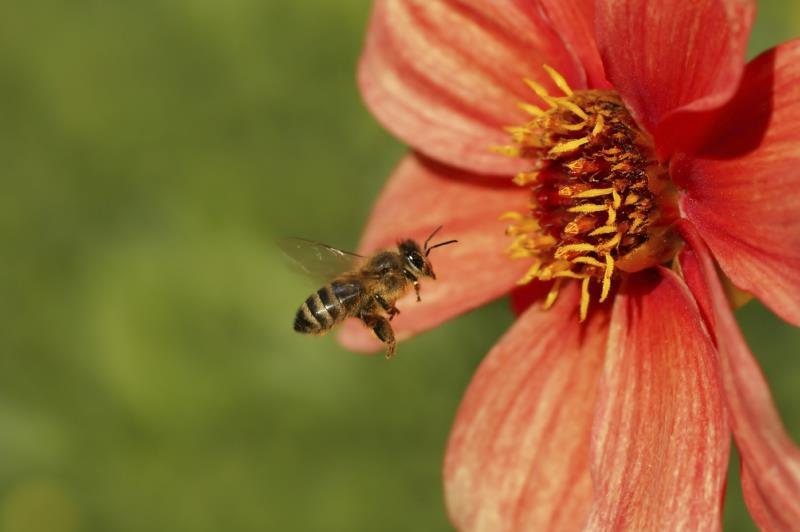 Bee and dahlia_3732