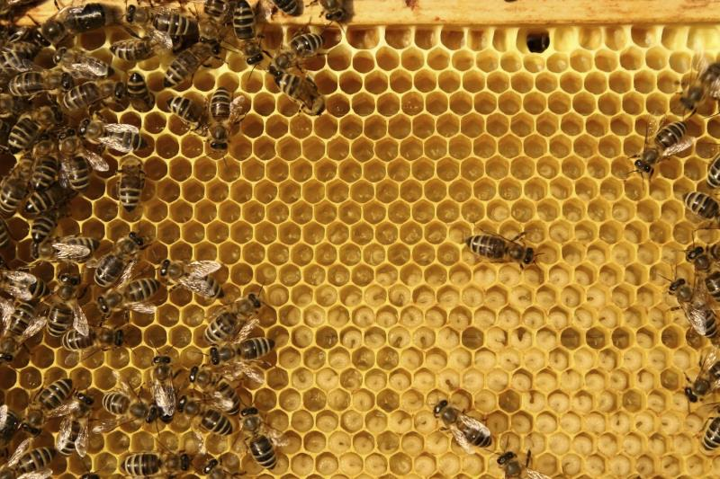 Bees on honeycomb_15984