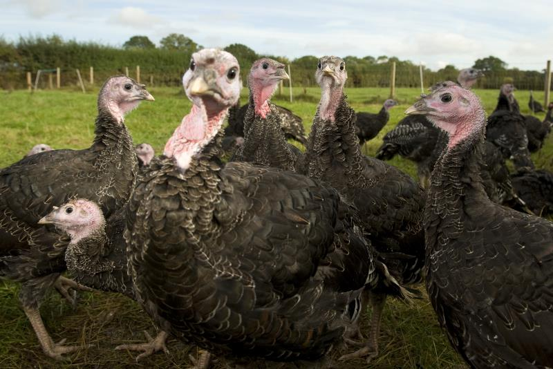 Adlington Turkeys_20186