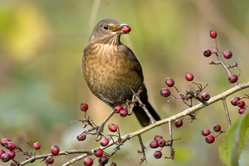 female blackbird eating berries_13091