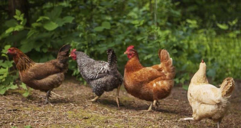 Free range chickens_13107