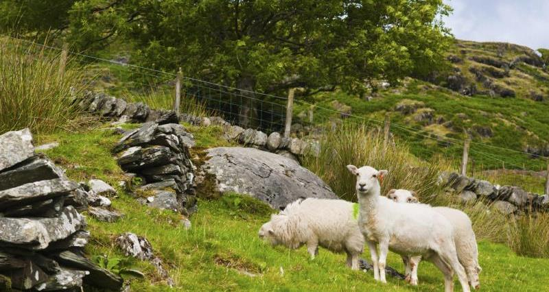Sheep in mountains_3668
