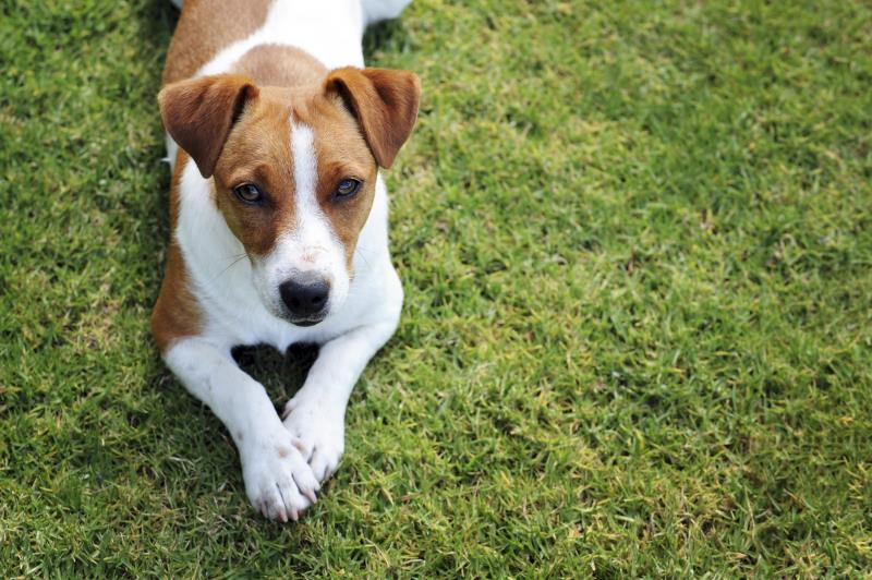Jack Russell_3568